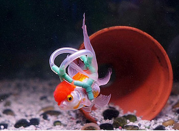 Foto van Einstein, de goudvis die weer kan zwemmen dankzij zijn reddingsvest.